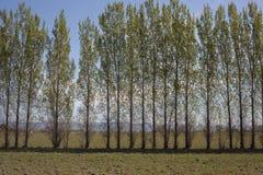 Fila degli alberi in un campo aperto Fotografia Stock Libera da Diritti