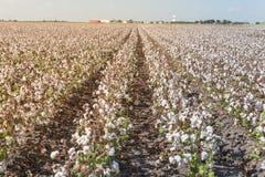 Fila dei campi del cotone pronti per la raccolta nel Texas del sud, U.S.A. immagine stock