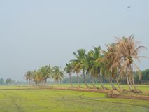 Fila dei cocchi sulla passeggiata nel giacimento del riso alla campagna tailandese, nebbia leggera di mattina con il concetto di  Fotografia Stock Libera da Diritti
