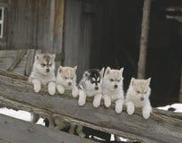 Fila dei cuccioli del husky Fotografie Stock