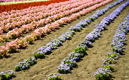 Fila dei fiori variopinti con sole Fotografia Stock
