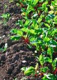Fila dei germogli verdi della barbabietola Fotografia Stock Libera da Diritti