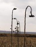 Fila dei girasoli asciutti Fotografia Stock Libera da Diritti