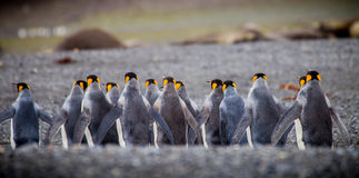 Fila dei pinguini di re dalla parte posteriore Fotografia Stock Libera da Diritti