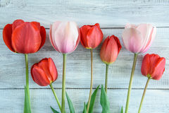 Fila dei tulipani Immagine Stock