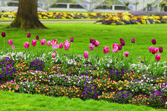 Fila dei tulipani e delle petunie rosa e marrone rossiccio Fotografia Stock