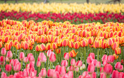 Fila dei tulipani variopinti sul campo in primavera Fotografie Stock