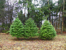 Fila del árbol de navidad 3 listo para ser cortado para los días de fiesta Imagen de archivo