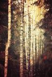 Fila del bosque del otoño del abedul de los árboles Foto de archivo
