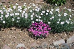 Fila del clavel blanco y grupo de rosa brillante unos fotos de archivo