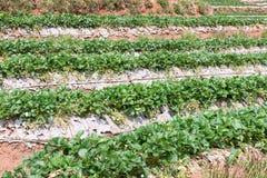 Fila del diagramma della fragola dell'azienda agricola organica Fotografia Stock Libera da Diritti