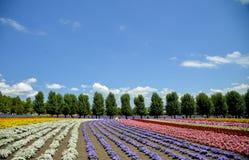 Fila del fiore variopinto nell'azienda agricola di Tomita Fotografie Stock Libere da Diritti