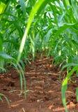 Fila del maíz joven imagen de archivo libre de regalías