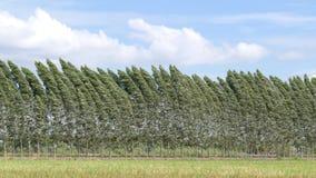 Fila del pino con la nuvola del movimento stock footage
