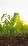 Fila del raccolto del cereale nel campo coltivato Immagine Stock Libera da Diritti