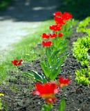 fila del tulipán Foto de archivo libre de regalías