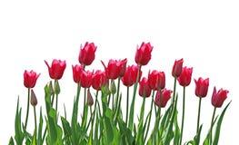 Fila del tulipán Imagen de archivo libre de regalías