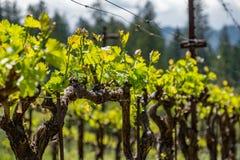 Fila del viñedo en la primavera imagen de archivo libre de regalías