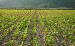 Fila dell'alberello sul campo di verdure Immagine Stock Libera da Diritti