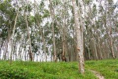 Fila dell'albero della gomma nell'azienda agricola di agricoltura Fotografie Stock Libere da Diritti