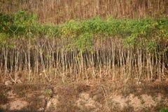 Fila dell'albero della manioca. fotografia stock