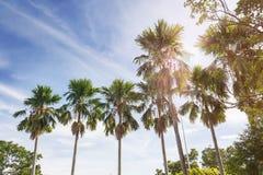 Fila della palma del betel del fondo della natura in nuvole gonfie soleggiate blu Fotografia Stock Libera da Diritti
