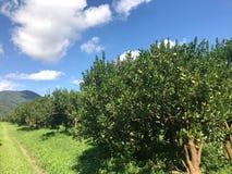 Fila della piantagione del mandarino o dell'arancia contro cielo blu su soleggiato Fotografia Stock