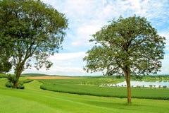 Fila della piantagione di tè verde con erba verde e gli alberi Fotografie Stock Libere da Diritti