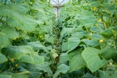 Fila delle piante del cetriolo sviluppate nella serra Fotografia Stock