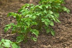 Fila delle piante di patate verdi in piantagione di verdure coltivata Fi Fotografie Stock Libere da Diritti