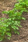 Fila delle piante di patate verdi in piantagione di verdure coltivata Fi Fotografia Stock Libera da Diritti