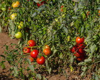 Fila delle piante di pomodori nel campo Immagine Stock