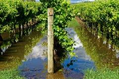 Fila delle viti in acque di inondazione fotografie stock