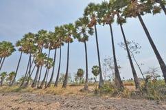 Fila di alta vecchia palma da zucchero nel campo Fotografie Stock Libere da Diritti