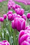 Fila di bei tulipani rosa-intenso della molla che fioriscono in un campo dei tulipani rosa Fotografia Stock