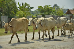 Fila di camminata della mucca Immagine Stock