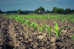 Fila di giovani piante di cereale contro il cielo Fotografie Stock Libere da Diritti