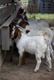 Fila di parecchie capre che mangiano nel granaio fotografia stock