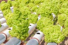 Fila di piantatura delle verdure di insalata verde di coltura idroponica Immagine Stock Libera da Diritti