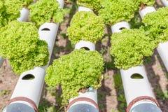 Fila di piantatura delle verdure di insalata verde di coltura idroponica Immagini Stock