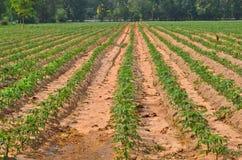 Fila di piccoli alberi della manioca nell'azienda agricola Immagine Stock Libera da Diritti
