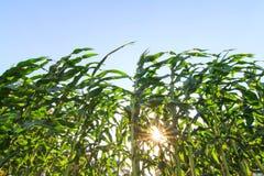 Fila fresca del maíz con luz del sol fotografía de archivo libre de regalías