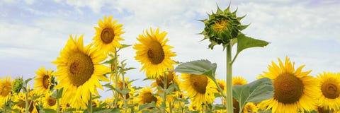 Fila hermosa de los girasoles florecientes del amarillo y de un brote foto de archivo libre de regalías