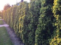 Fila iluminada por el sol de los arbustos del árbol foto de archivo
