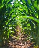 Fila joven del campo de maíz fotografía de archivo