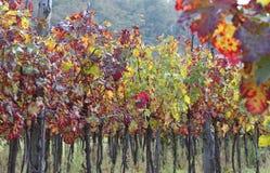Fila larga de vides en el campo toscano en otoño Foto de archivo libre de regalías