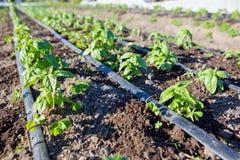 Fila lunga di basilico organico fresco Immagine Stock Libera da Diritti