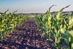 Fila perfectamente plana del maíz joven en rodilla contra fondo del cielo foto de archivo libre de regalías