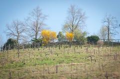 Fila superior del viñedo del prosecco de la colina en primavera Fotos de archivo