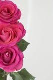 Fila vertical de rosas en el lado izquierdo Imagen de archivo